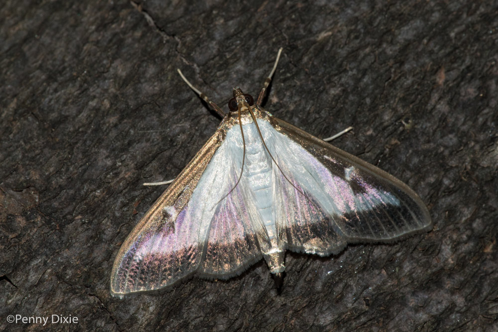 box_tree_moth-8906.jpg