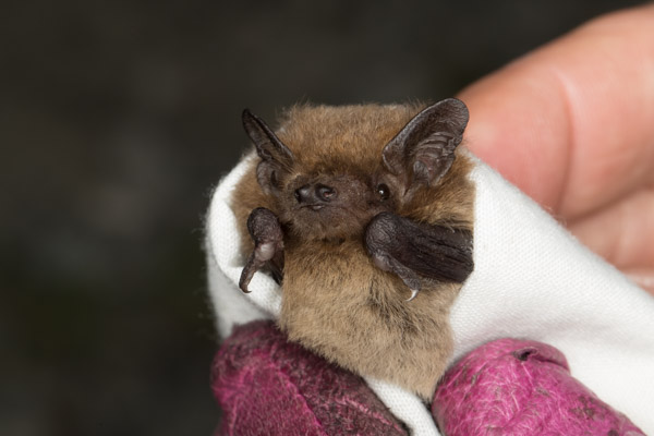 bat_in_a_blanket-9653.jpg