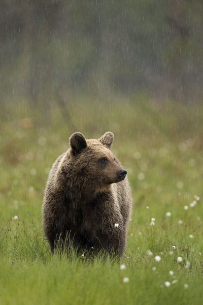 bear_in_the_rain.jpg