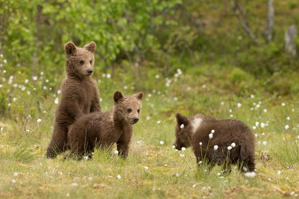 three_little_bears.jpg