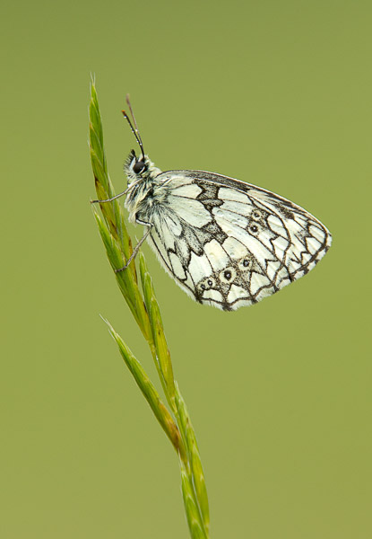 marbled_white-1.jpg