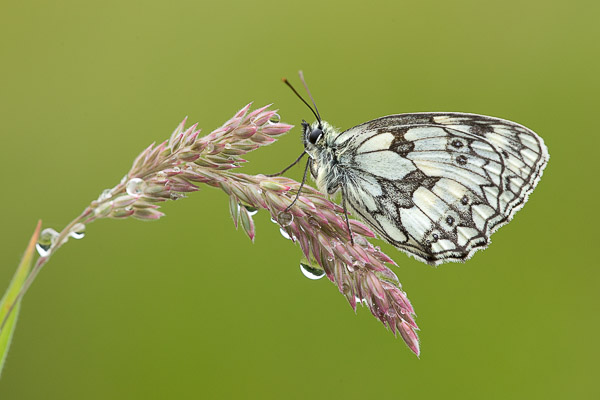 marbled_white-3.jpg