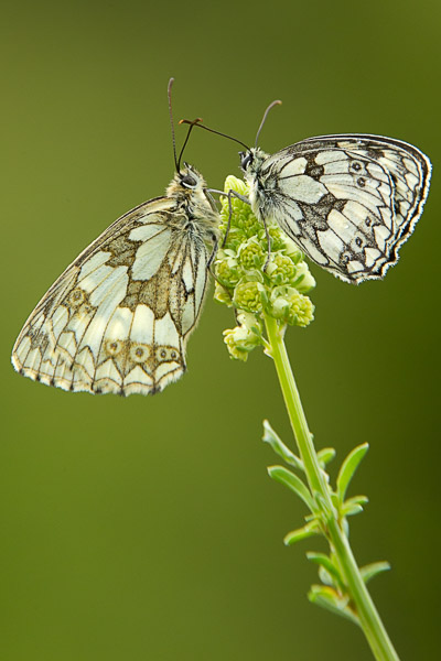 marbled_white_pair-1.jpg