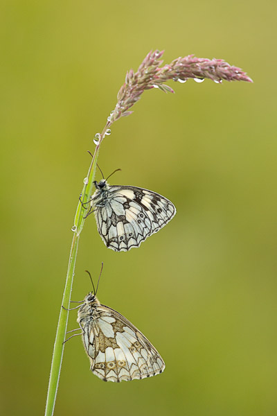 marbled_white_pair-2.jpg
