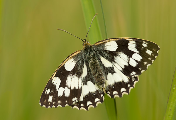 marbled_white_wings_open-3.jpg
