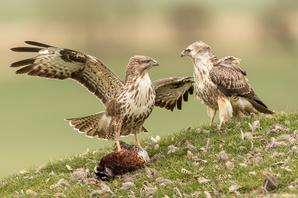 buzzards_fighting-0045.jpg