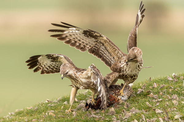 buzzards_fighting-0055.jpg