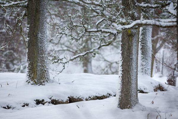 ancient_trees_in_snow.jpg