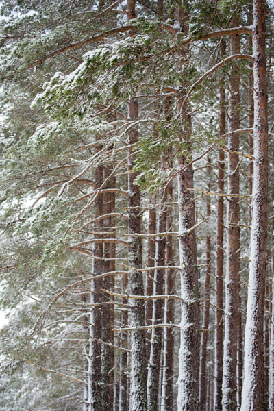 caledonian_pines_with_snow.jpg
