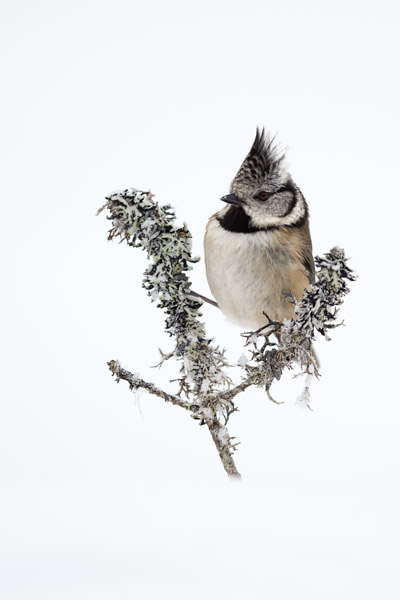 crested_tit_high_key.jpg