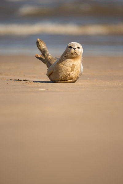 common_seal_pup.jpg