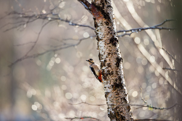 great_spotted_woodpecker_in_thaw.jpg
