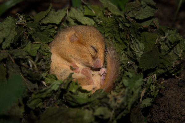 torpid_dormouse.jpg