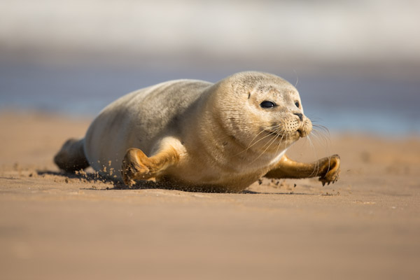 common_seal_pup_moving_1.jpg