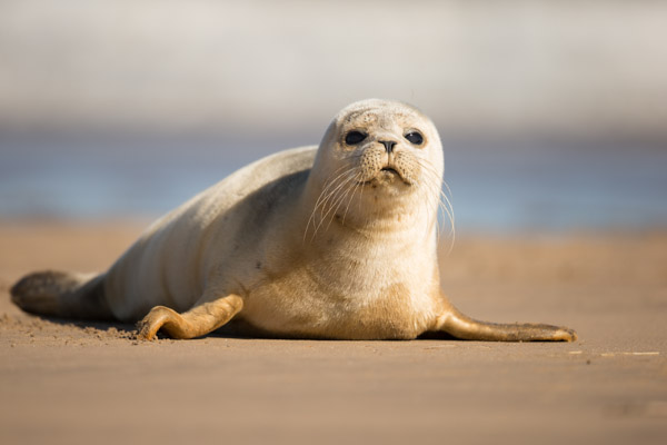 common_seal_pup_posing.jpg