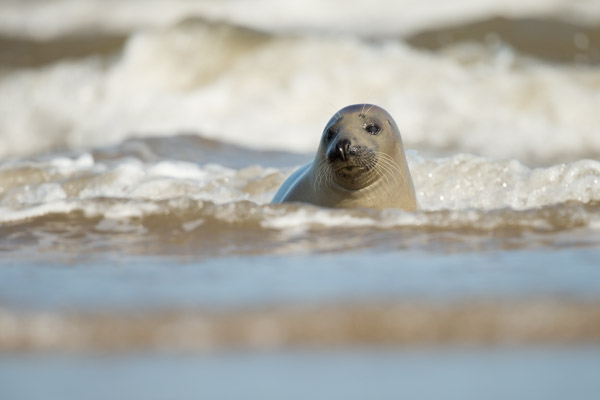 seal_in_surf.jpg