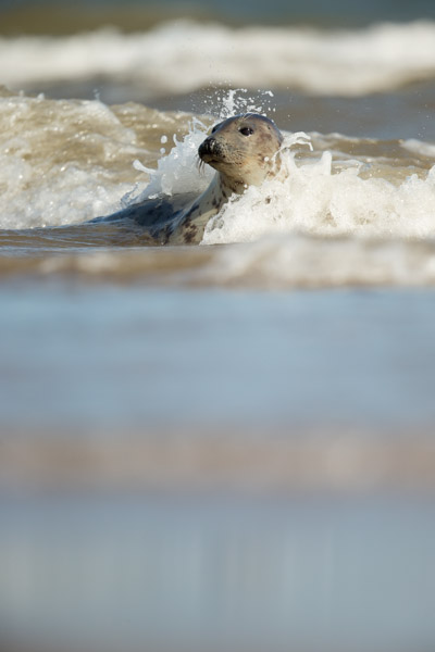surfing_seal.jpg