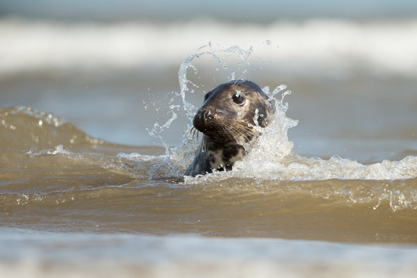 young_grey_seal_surfing.jpg