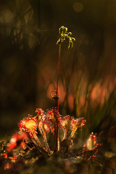 sundew_at_dawn.jpg