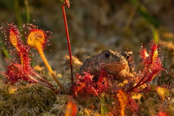 toad_in_the_sundew.jpg