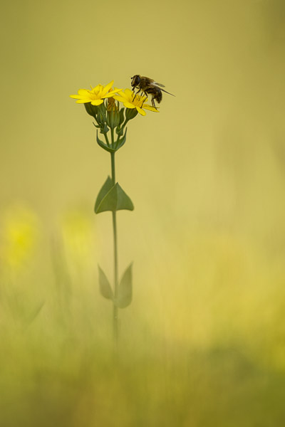 unknown_yellow_flower_and_bee.jpg