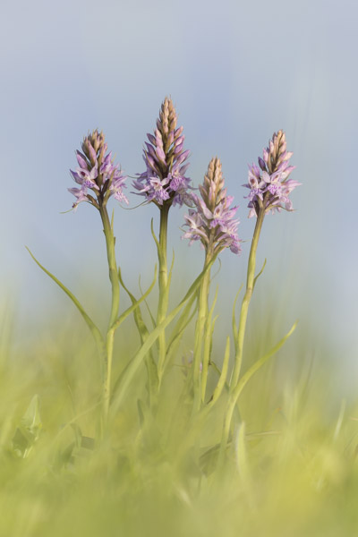 common_spotted_orchid-7888.jpg