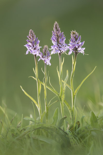 common_spotted_orchid-8020.jpg