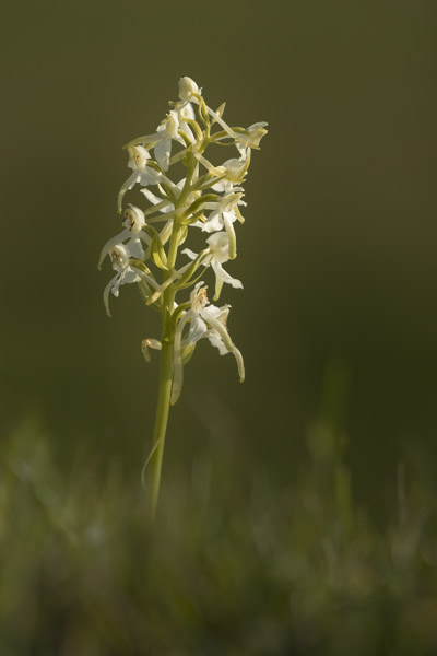 greater_butterfly_orchid-7894.jpg