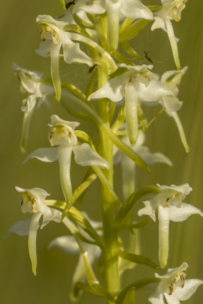 greater_butterfly_orchid-7946.jpg