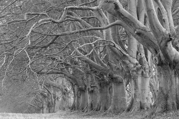 black_and_white_beech_trees.jpg