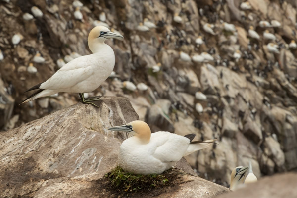 gannet_on_nest-3111.jpg