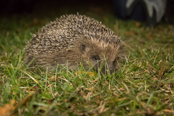 hedgehog-7748.jpg
