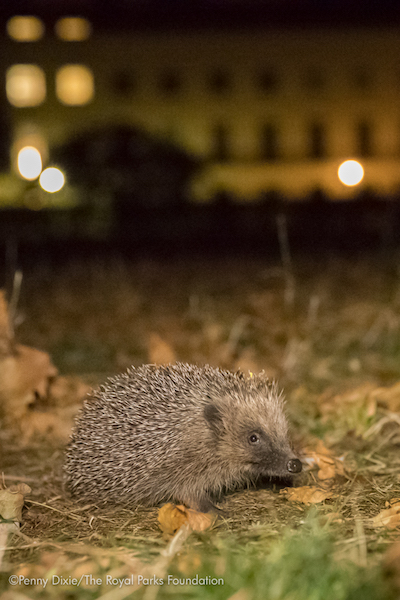 rpf_hedgehog-7941-2.jpg