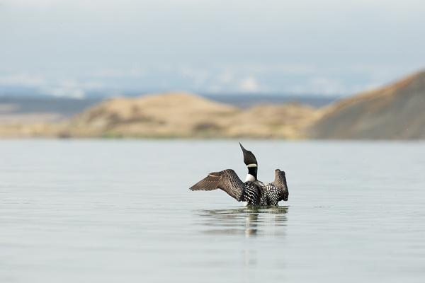 great_northern_diver_lake_mývatn__3_of_3_.jpg