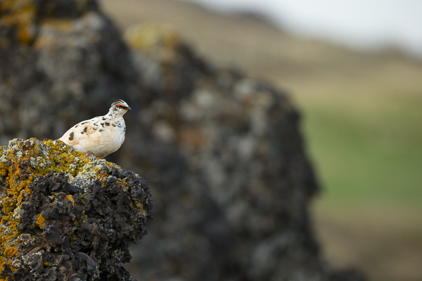ptarmigan_on_volcanic_rock__iceland-1.jpg