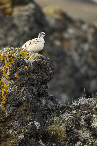 ptarmigan_on_volcanic_rock__iceland-2.jpg