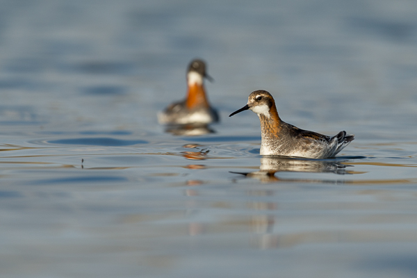 red-knecked_phalarope_lake_mývatn__1_of_9_.jpg