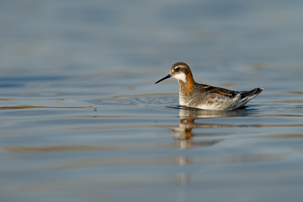 red-knecked_phalarope_lake_mývatn__2_of_9_.jpg
