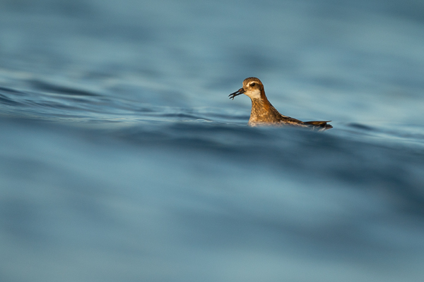 red-knecked_phalarope_lake_mývatn__4_of_9_.jpg