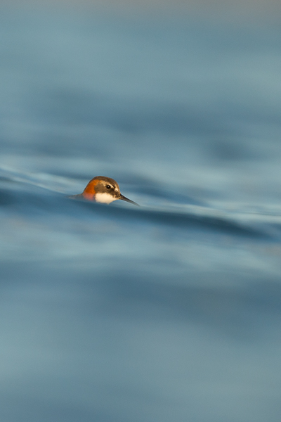 red-knecked_phalarope_lake_mývatn__5_of_9_.jpg