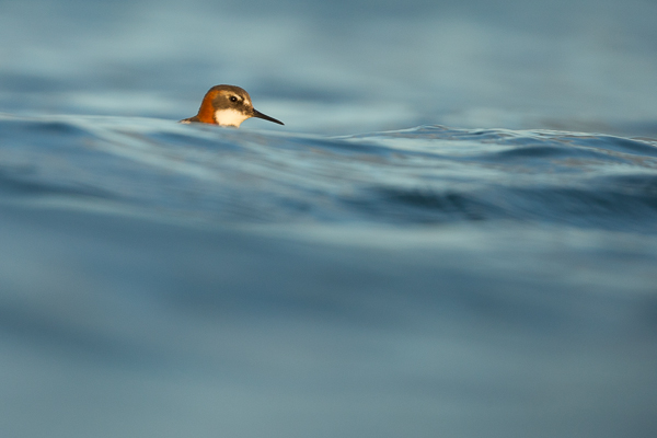 red-knecked_phalarope_lake_mývatn__6_of_9_.jpg