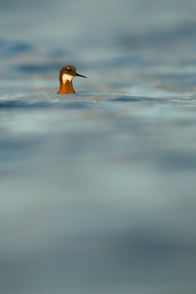red-knecked_phalarope_lake_mývatn__7_of_9_.jpg