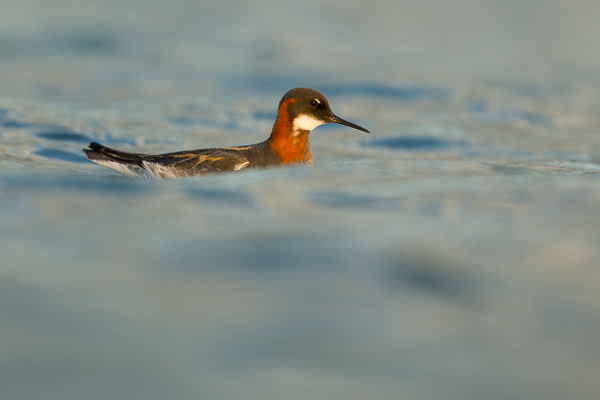 red-knecked_phalarope_lake_mývatn__8_of_9_.jpg