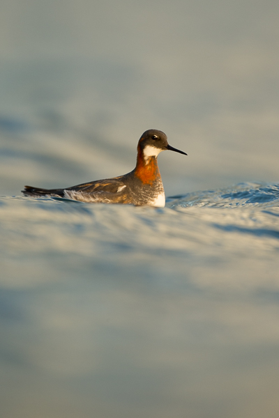 red-knecked_phalarope_lake_mývatn__9_of_9_.jpg