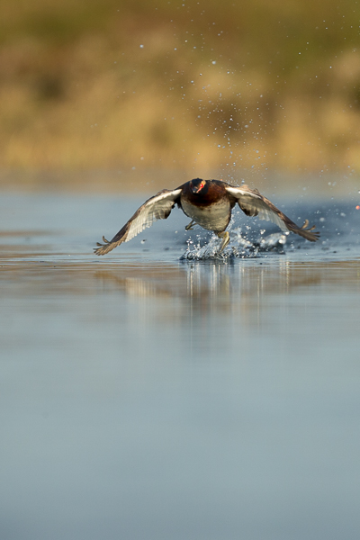 slavonian_grebe_at_lake_mývatn__1_of_5_.jpg