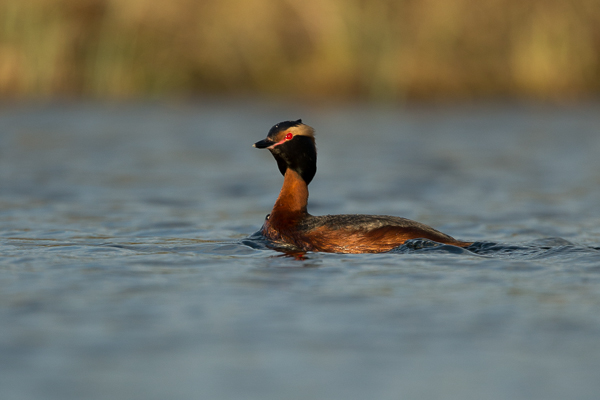 slavonian_grebe_at_lake_mývatn__4_of_5_.jpg