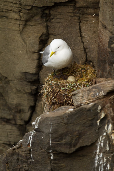 kittiwakes_at_latrabjarg__3_of_3_.jpg