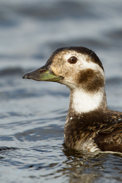 long-tailed_duck_female.jpg