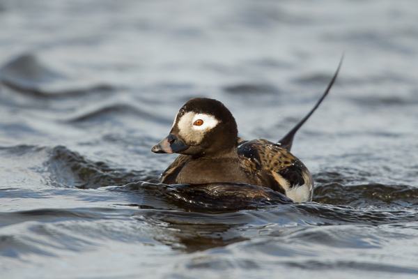 long-tailed_duck_male.jpg