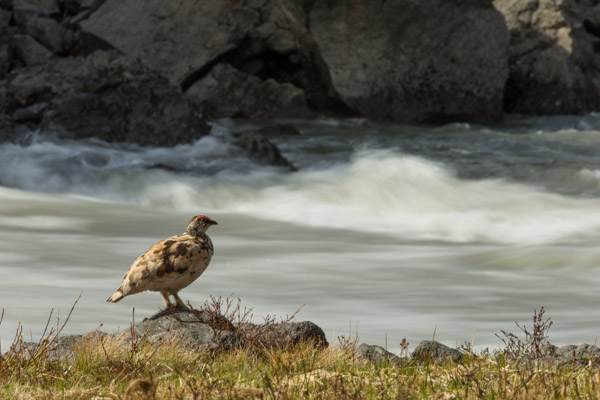 ptarmigan_looking_over_the_waterfall__1_of_1_.jpg